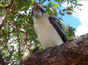 Kookaburra looking down from high up on a tree branch