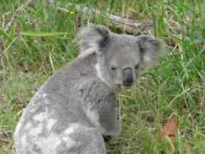 Koala looking around in the grass on a Steve's Rubbish Removals job