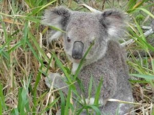 Close Up Of A Koala In The Long Grass During A Steve's Rubbish Removals Job