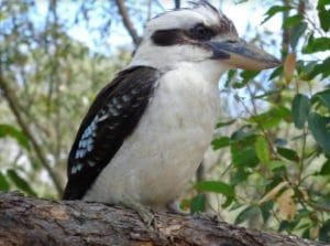 Close up of a Kookaburra in a tree during an encounter on a Steve's Rubbish Removals job
