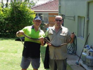 Steve And A Snake Removalist Holding A Tree Python Discovered Whilst Removing Some Backyard Rubbish